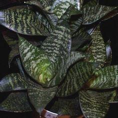 sansevieria bird nest | Sansevieria trifasciata 'Hahnii' - Birds-nest Sansevieria - Ruscaceae