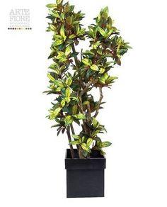 Croton Tronco naturale