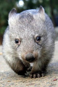 A Wombat is a short-legged, muscular quadrupedal marsupials that are native to Australia and are approximately 1 metor in length, with short, stubby tails. from the Taronga Zoo Nature Animals, Animals And Pets, Baby Animals, Funny Animals, Cute Animals, Reptiles, Mammals, The Wombats, Aussie Puppies