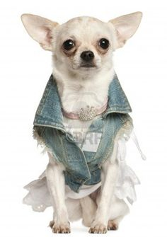 Chihuahua dressed in denim, 10 months old