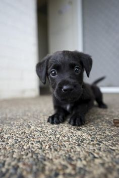 Lab puppy love.