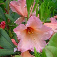 Rhododendron 'Autumn Gold' - Australia
