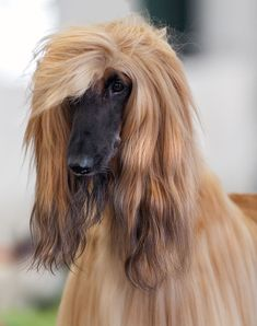Afghan Hounds are also very quiet dogs. Like most other breeds, they'll probably bark once or twice if someone comes into your home.