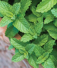 Mint Seeds and Plants - Spearmint is perhaps the best-loved of all the mints. This herb bears lavender flowers in late spring and its leaves are dark green and pointed. Find Peppermint and Spearmint herbs at Burpee. Growing Mint, Growing Herbs, Nailart, Mint Plants, Marijuana Plants, Cannabis, Herb Seeds, Burpees, Herbs