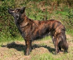 Dutch Shepherd Colors | Dutch Shepherd Club: Coat Colors