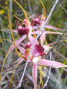Orquídea araña.
