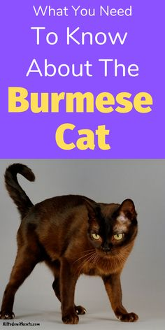 If you're thinking about getting a burmese cat you'll want to know a bit about the breed. In this post you'll discover everything you need to know. Including personality, physical characteristics, and lots more All Day You May, Black Cat Breeds, Burmese Kittens, Cat Run, Cat Food, Siamese, Personality, Cats, Cat Feeding