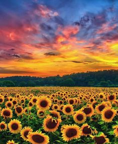 🌻Sunflower Fields in Turkey Photo by © Nature Wallpaper, Wallpaper Backgrounds, Nature Pictures, Art Pictures, Landscape Photography, Nature Photography, Indian Photography, Images D'art, Sunflower Photography