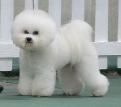 Bichon Frise - lots of work to keep them looking like this.  Bear wouldn't sit still long enough to do this.