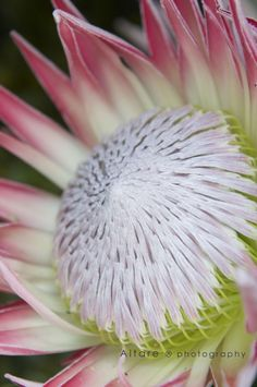 A huge King Protea, glorious flower photos. Flor Protea, Protea Art, Protea Flower, Exotic Flowers, Tropical Flowers, Beautiful Flowers, Real Flowers, South African Flowers, Australian Plants