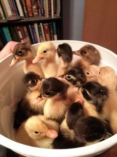 21 Ducklings To Fill Your Cuteness Quota