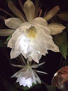 「月下美人」京都府立植物園