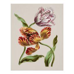 antique botanical tulip prints - Google Search