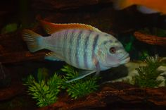 Lake Malawi African Cichlid - I have this one in my tank#1