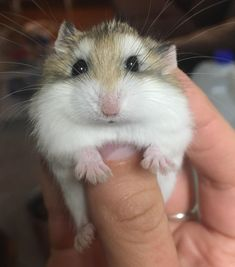The newest member of the family! I need name suggestions. Hes a boy. Robo Dwarf Hamsters, Hamsters As Pets, Funny Hamsters, Cute Little Animals, Cute Funny Animals, Super Cute Animals, Funny Animal Pictures, Hamster Pics, Cute Hamster Names
