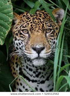 Stock photo about Jaguar In The Jungle (edit now) 526512562 Jungle Animals, Nature Animals, Animals And Pets, Cute Animals, Wildlife Nature, Jungle Jungle, Nocturnal Animals, Arctic Animals, Woodland Animals
