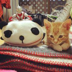 遊び待機 #猫 #子猫 #cat #kitten