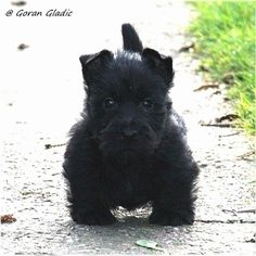 14 Distinguished Facts About Scottish Terriers Puppies And Kitties, Cute Puppies, Cute Dogs, Doggies, Scottish Terrier Puppy, Terrier Dogs, Bull Terriers, West Highland Terrier, Australian Shepherds
