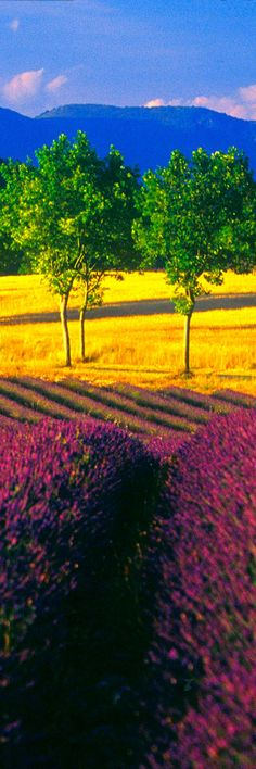 Lavender Fields at Luberon, near Mount ventoux - Sault & Valreas Region, Provence | France