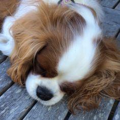 Sleepy little cavalier