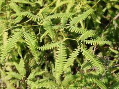 Gleicheniaceae: Gleichenella pectinata