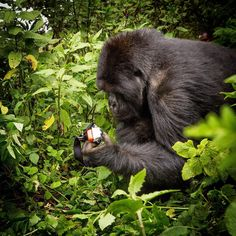 Photo @tbfrost   This is NOT my camera in the gorilla's hand! A tourist dropped it on the trail when we were with the mountain gorillas in Rwanda. And it ISN'T good this young male gorilla is holding it because it is an easy way for human diseases to transmit to the gorilla. BUT if humans think they are so special , that we are smarter than all other creatures , why on earth would this mountain gorilla have picked this camera up and examined it for nearly 10 minutes, pushing every button…