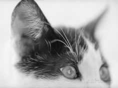 Cat's Head Photographic Print by Henry Horenstein at AllPosters.com