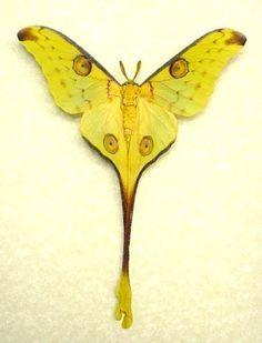 Madagascar Fairy Moth  Argema mittrei