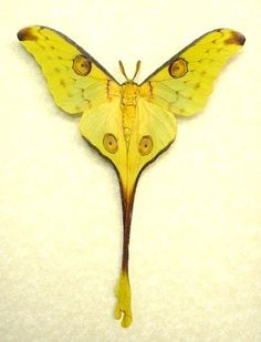 More Comet Moth awesomeness. Gorgeous creatures.