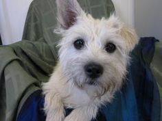 Coco is an adoptable West Highland White Terrier Westie Dog in High Point, NC. Oh so sweet little Coco is a gentle, snuggly girl who has such a wonderfully silly, playful side that comes out when shes...