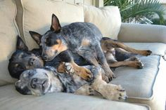 I love them (Australian Cattle Dogs)