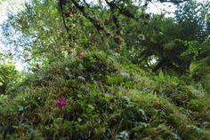 Sendero del Bosque Encantado, Parque Nacional Queulat Chile, Plants, Haunted Forest, National Parks, Scenery, Chili, Planters, Plant, Planting
