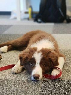 5 Astounding Border Collie Dog Tips Ideas Collie Dog Border Collie Dog Dogs