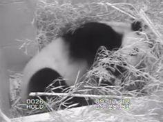 A webcam view inside the National Zoo's panda habitat, where Mei Xiang gave birth to a panda cub Sunday, Sept. 16, 2012.