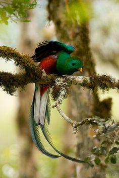 resplendent quetzal  (photo by deep green photography)