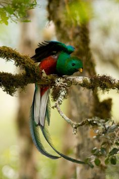 resplendent quetzal (photo by deep green photography)
