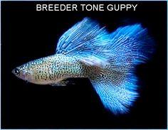 Lace Light Blue Cobra Guppy? Diamond Guppy?