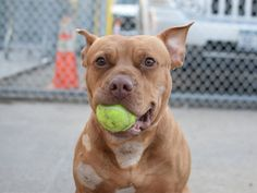 http://nycdogs.urgentpodr.org/remy-a1070614/ ***VERY URGENT – EVERY HOME NEEDS REMY!!!*** DOH HOLD – V 04/17/16 ♥ Remy is 2 years old funny girl who arrived in Brooklyn Center as a STRAY with 2 other dogs (OPHELIA & LEO). A volunteer writes: She crossed into uncharted cuteness territory when I found her in her cage with her paw literally wrapped around a stuffed owl: https://youtu.be/qhtk7_XNQKg ♥ So, REMY IS READY TO PACK HER STUFFED OWL AND BRING HER SWEET CHARMS TO YOUR HOME ♥