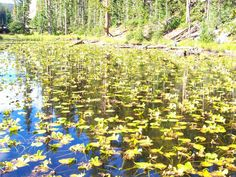 Beautiful Lilly pond in Yellowstone
