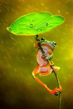 "Frog: ""It's Raining!"" (Photo By: Ellena Susanti. Nature Animals, Animals And Pets, Funny Animals, Cute Animals, Funny Frogs, Cute Frogs, Beautiful Creatures, Animals Beautiful, Animals Amazing"