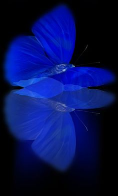 Radiant blue butterfly