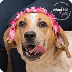 URGENT!  I am at a kill shelter in Troy, OH - Coonhound. Meet Tater, a dog for adoption. http://www.adoptapet.com/pet/12944619-troy-ohio-coonhound