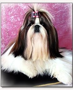 "Shih Tzu-Elite Top Model du Golden Palace ""Nini"""