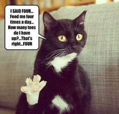 Feed Me Four Times A Day Human  : ) This is so much like our cat Lucky.  Looks like him too!