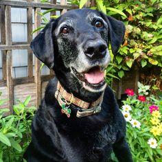 Old boy Lazer. #katanddog #lab #labs #lablife #lablove #labrador #lablovers #labradors #labstagram #laboftheday #labsofinsta #labradorable #labsofinstagram #labradorretriever #labradorretrievers #labradorsofinstagram #retriever #retrievers #retrieversgram #retrieveroftheday #retrieversofinstagram #worldoflabs   #dog #dogs #blacklab #blacklabs #blacklabrador #blacklaboftheday #labradorblack
