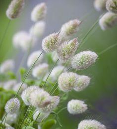 Lagurus ovatus (Bunny's Tail Grass)