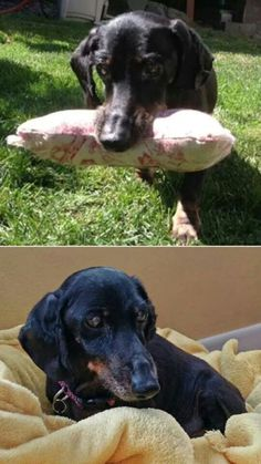 Old Dog Haven Urgent/special needs! Bones is a miniature dachshund who is 14 years old. His current weight is about 9 pounds, up from when he was found emaciated due to neglect at the hands of his former owner. Bones was found out in the street a few times, dangerous because he is mostly blind and deaf. His owner agreed to give Bones to the people who kept finding him. Bones has been taken to a vet and given him some TLC; he is now ready for a forever home as his Good Samaritans cannot give…