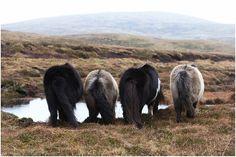 Shetland ponies, Shetland Islands