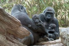 Julie Larsen Maher/Wildlife Conservation Society via AP