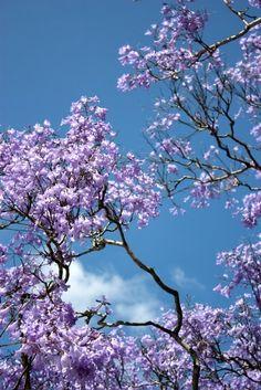 purple tree  -Sarah